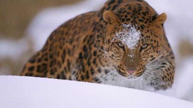 2013-12-27_EN-AU10767408895_A-rare-amur-leopard-peers-over-a-snowy-embankment