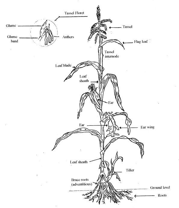 Maize Anatomy and the Anatomy of a Maze – awkward botany