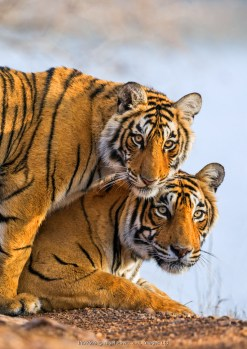 India Rajasthan, Ranthambhore. A female Bengal tiger with one of her one-year-old cubs.