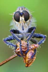 Robber fly (Eutolmus rufibarbis) covered with dew, France, Lescheraines