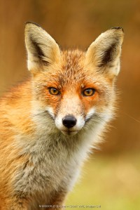 Portrait of a juvenile Red fox (Vulpes vulpes), The Netherlands, Noord-holland