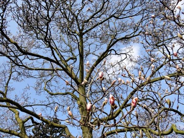 Ook de magnolia komt weer in knop. Deze fraaie foto werd gemaakt door Agnes Nijskens