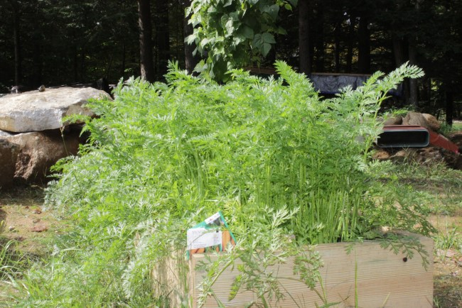 Too busy for a garden- tomato - raised bed carrots