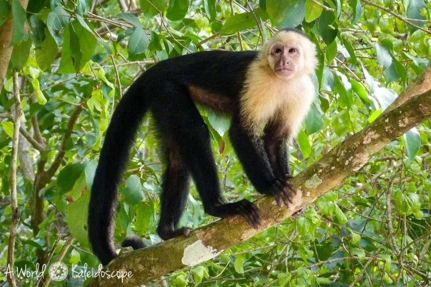 backpacking-rundreise-costa-rica-nicaragua-panama-capuchin-monkey-manuel-antonio