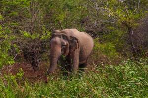 elefant i Sri Lanka
