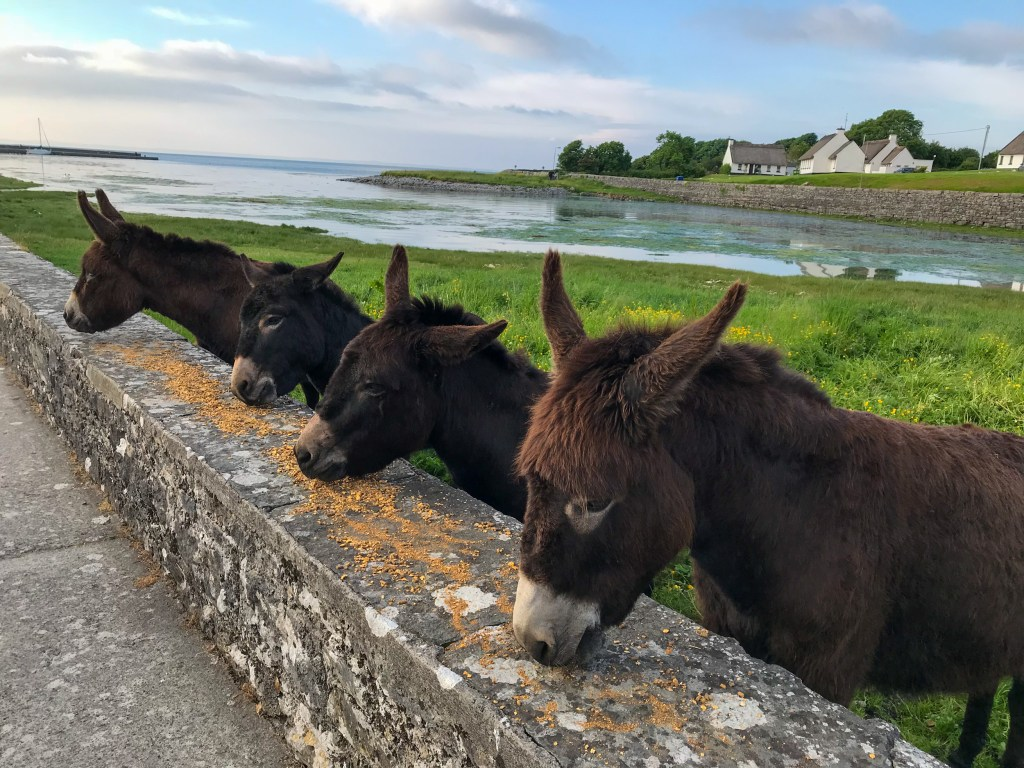 Donkeys in Ballyvaughn, Ireland