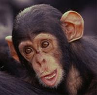 Baby chimpanzee (WWF photo)