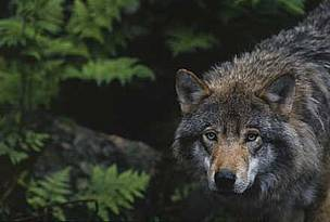 Swedish forests hold the majority of Scandanavia's endangered wolf population