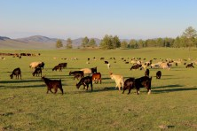 Gregge di ovini nella regione di Selenghe.
