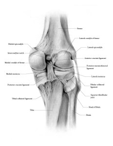 Medical illustration - knee
