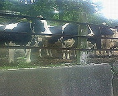 途中で見かけた牛。