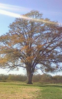 2007/10/25 08:45 ハルニレの木