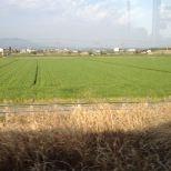 15日 車窓から(麦畑)