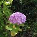 9日AM 紫陽花