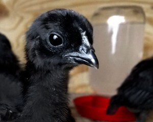 Baby Ayam Cemani Chick