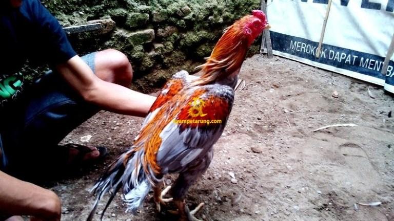 Ayam Pakhoy Birma, Triton, Kaki Simbar