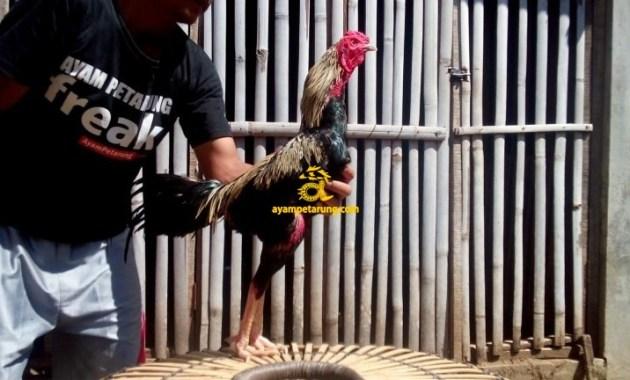 Jual Ayam Bangkok di Pidie Jaya