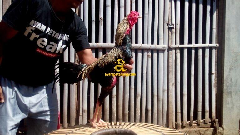 Jual Ayam Bangkok di Ngabang