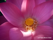 The inside of a lotus flower on the Mary River