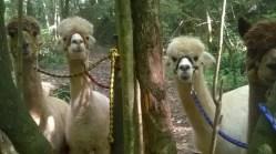 cheeky alpacas