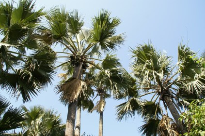 Gambia palm trees
