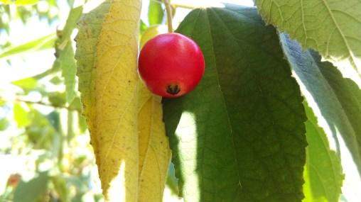 big cherry