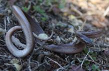 Lamprophis fuliginosus, Brown house snake