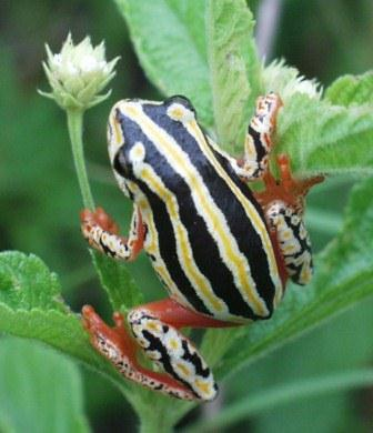A flower just for you with compliments from this cute little Painted reed frog
