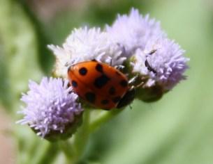 Hippodamia variegata (Variegated Lady beetle)