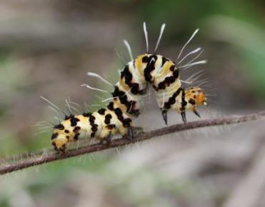 Rhanidophora cinctiguttata