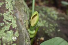 Stylochaeton natalensis