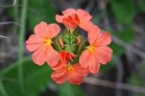 Crossandra greenstockii inflorescence