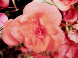 fleur rose5