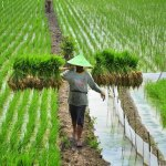 Sektor Pertanian Indonesia Tahun 2019 Semakin Lebih Baik