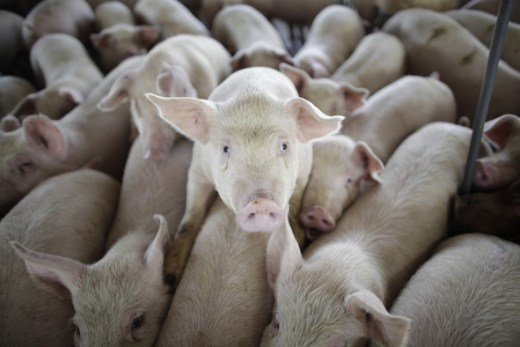 Crowded pigs