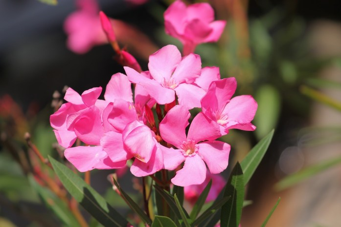 laurel de flor adelfa perro intoxicado