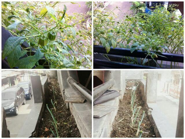 Kebun Cabe dan Daun Bawang Mini ala Vanti - (Gambar yang diatas sudah tumbuh tinggi, sedangkan yang bawah masih dalam masa pertumbuhan)
