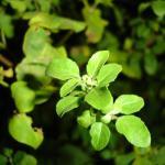Amazing Benefits of The Queen of herbs, Tulsi