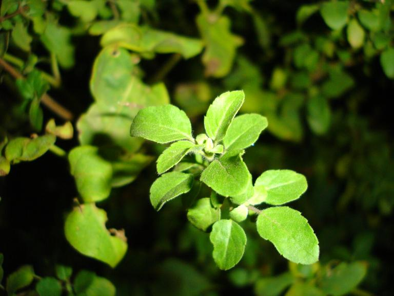 Tulsi leaves Image source -- https://www.flickr.com/photos/theju/138474903/sizes/o/