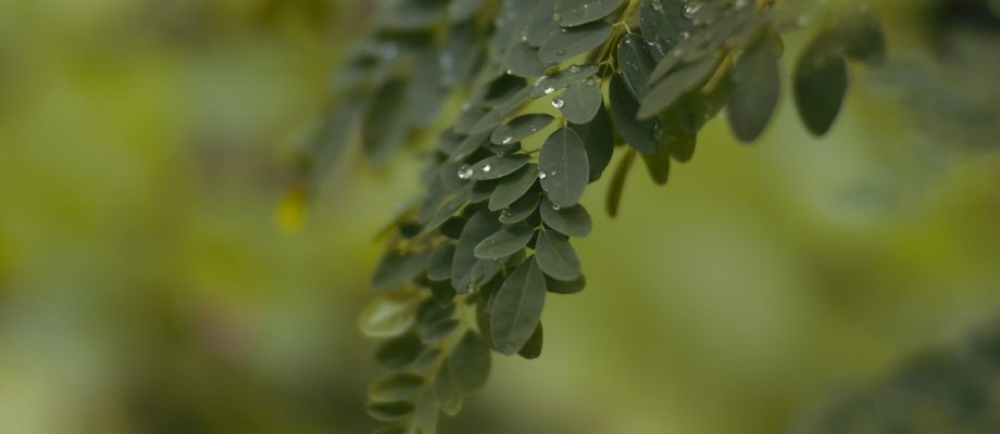 Moringa Benefits For Skin