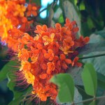 Ashoka Tree: Amazing Benefits