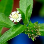 Bhringaraj – Benefits and Medicinal uses