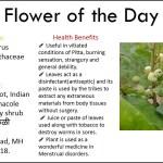 Bushweed Benefits