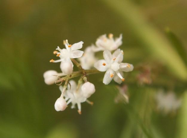 shatavari flowers
