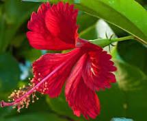 hibiscus flower for cold cream