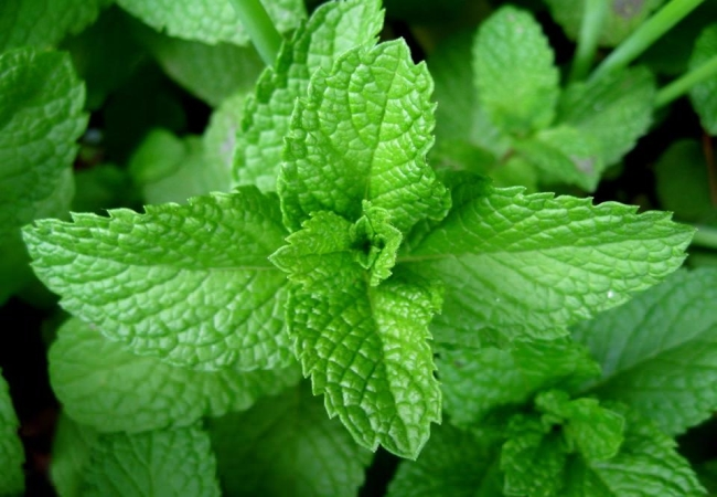 Peppermint For Red Acne