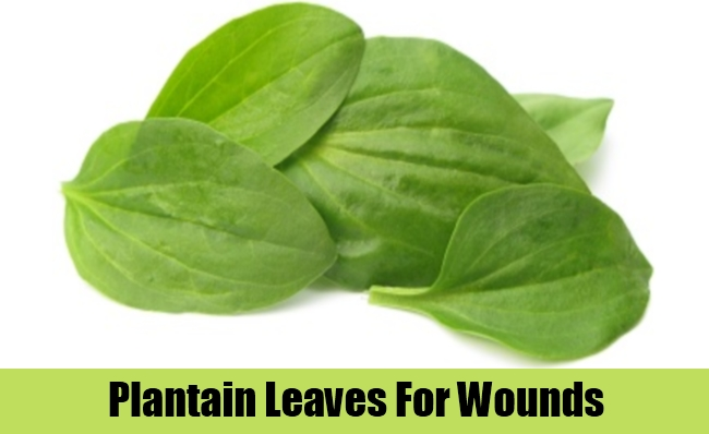 Plantain Leaves For Wounds