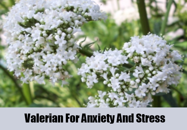 Valerian For Anxiety And Stress