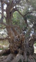 L'olivier tri-millénaire de Kavousi