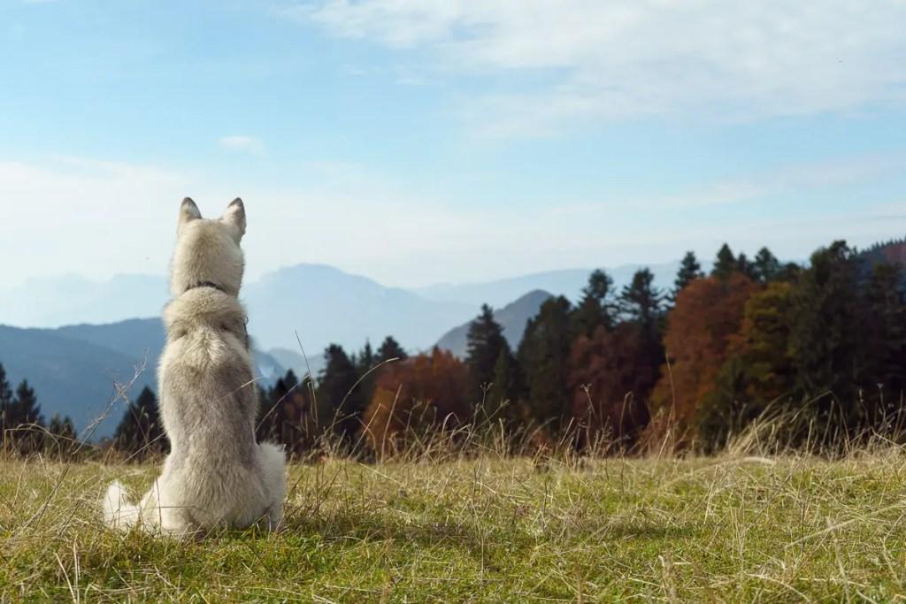 chien nordique contemplant le paysage